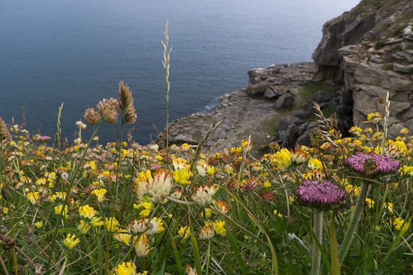 Kidney Vetch and Wild Carrots on the cliffs at Durlston Country Park