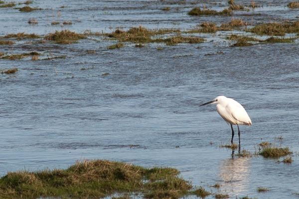 Little Egret waiting for the tide