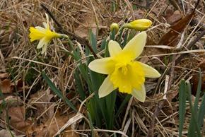 Wild Daffodils - Far Arnside