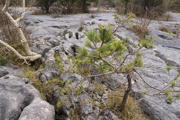 Scots Pine in limestone pavement at Gait Barrows