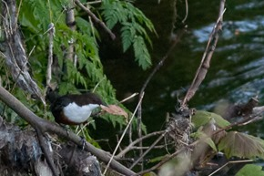 Dipper on the River Mersey