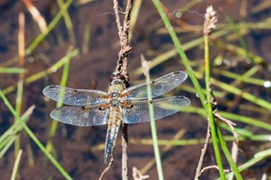 Broad bodied Chaser (female)