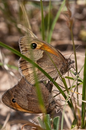 Meadow Brown Butterlies mating low down in the grass