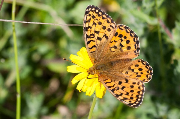 Dark Green Fritillary nectaring on Hawkbit at Ainsdale Dunes
