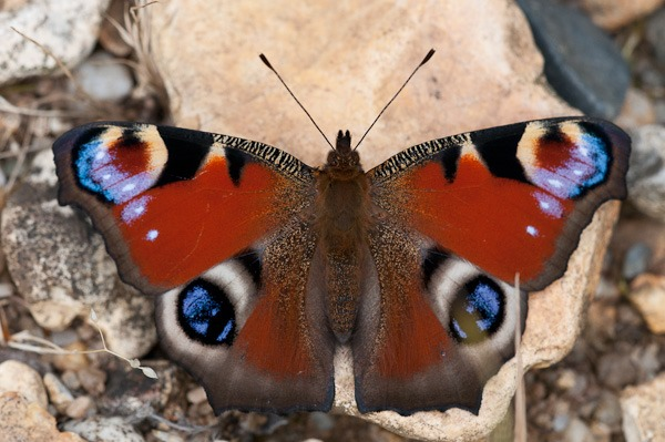 A fresh Peacock butterfly