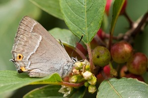 Purple Hairstreak, one of 12 feeding on nectar and honeydew around the Alder Buckthorns