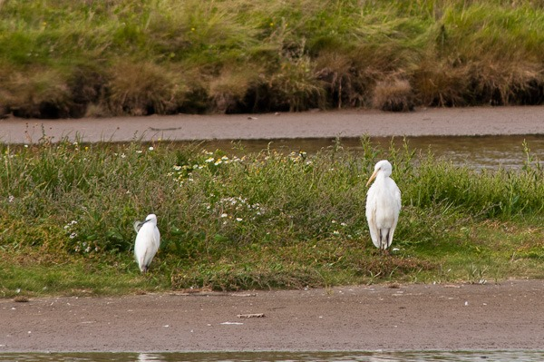 Little Egret and Great White Egret