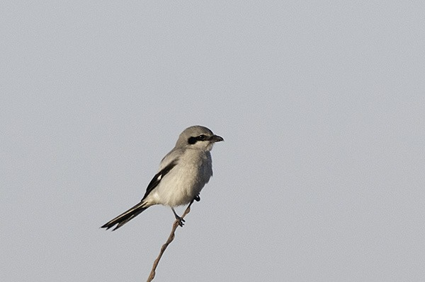 Great Grey Shrike on the lookout for voles and mice.