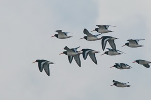 Oystercatchers returning to the marsh.