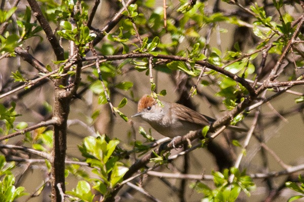 Female Blackcap skulking around in a thicket of Blackthorn