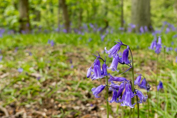 Bluebells at Marbury Country Park