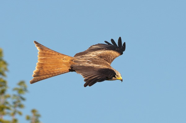 Unmistakeable rufous tail that enables the Kite to constantly twist and turn so effortlessly
