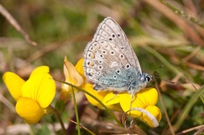 Male Common Blue on Birds Foot Trefoil