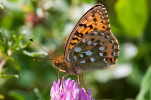 Dark Green Fritillary dispaying characteristic underwing pattern