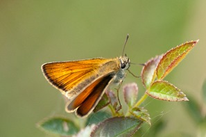 The closely related Essex Skipper