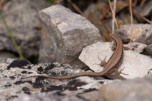 Female Wall Lizard sunbathing.