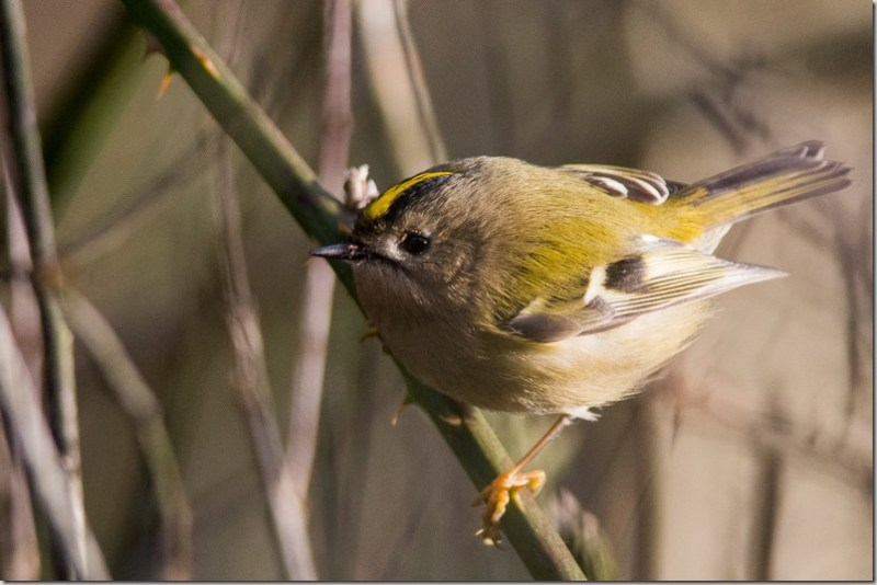Goldcrest amongst the scrub.