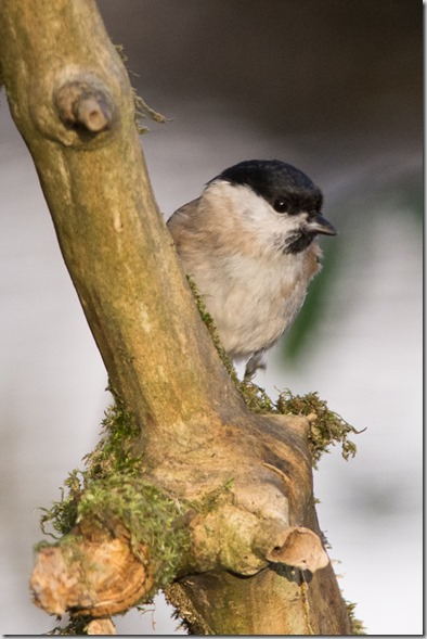 Another Marsh Tit