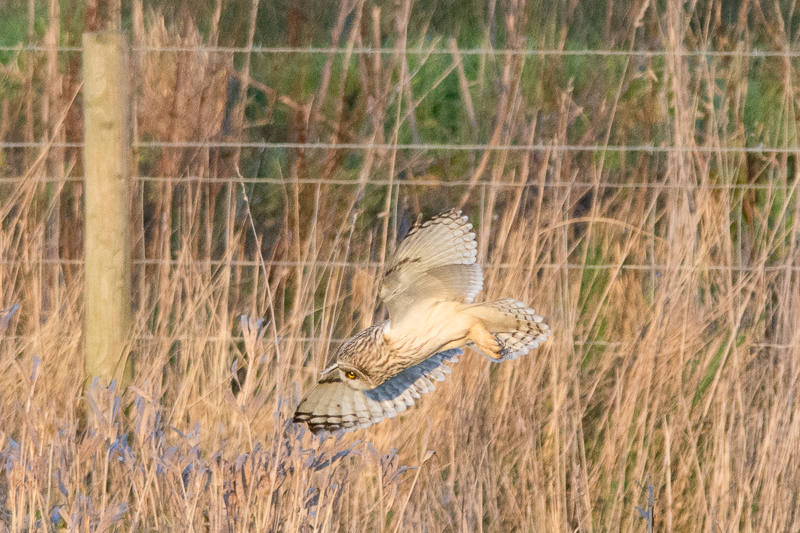 Short-eared Owl diving into the long grass