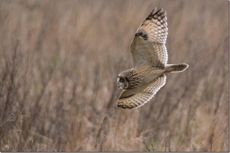 Short-eared Owl hunting voles at Lunt Meadows