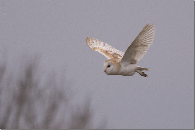 Barn Owl hunting during the late afternoon