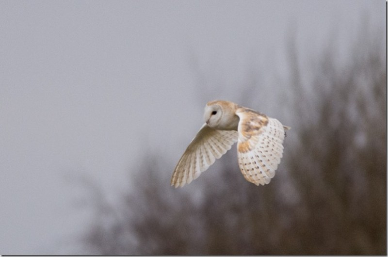 Barn Owl, LWT Lunt Meadows