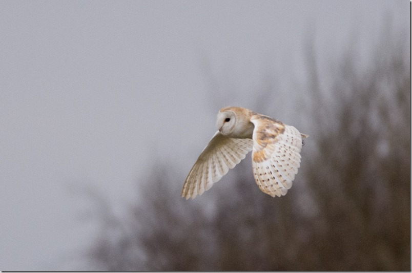 Barn Owl, LWT Lunt Meadows
