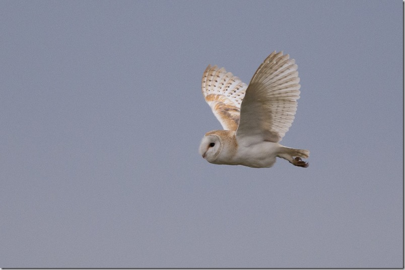 Barn Owl at Lunt Meadows