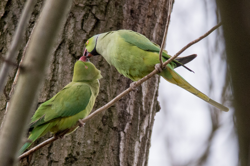 A pair of Ring-necked Parakeets.