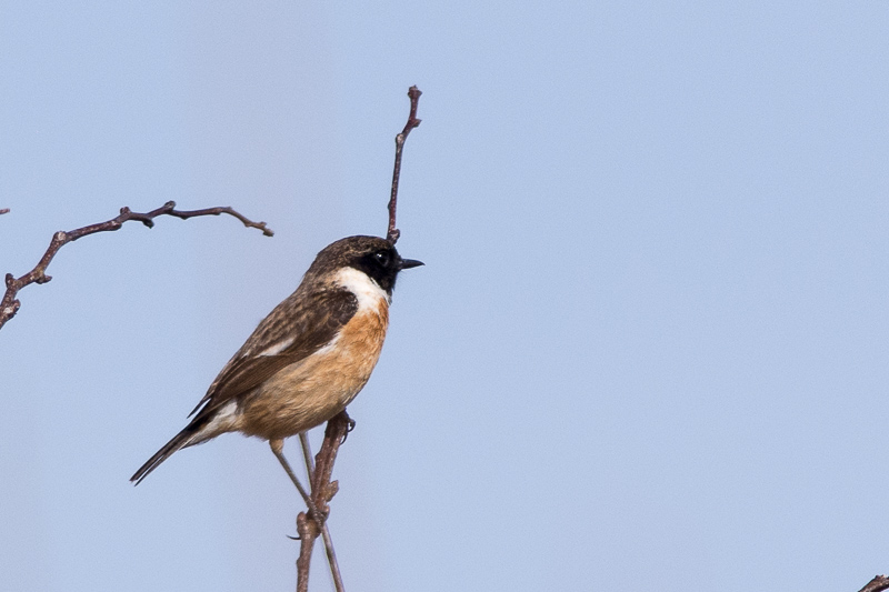 Male Stonechat outside the sandplant