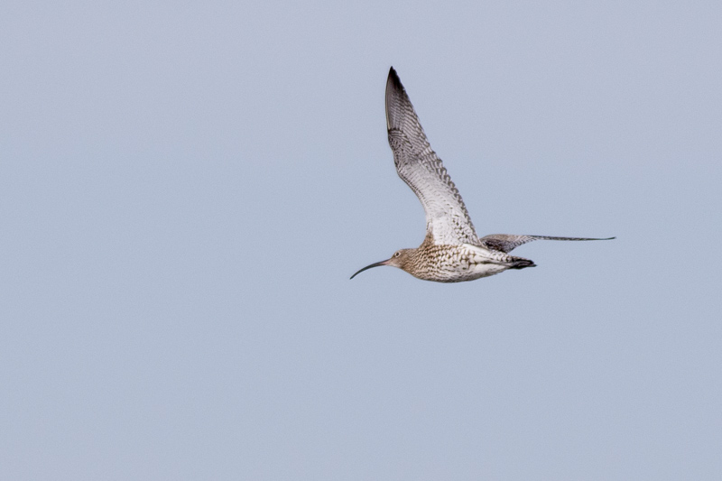 Another Curlew in flight