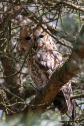 Tawny Owl roosting in Pine tree close to Errwood Hall