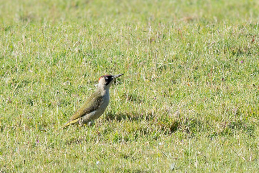 The frequently heard and occasionally seen Green Woodpecker.