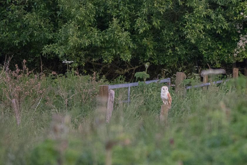 Barn Owl watching and waiting
