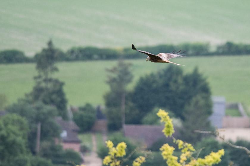 Red Kite soaring high over Watlington from White Mark Hill.