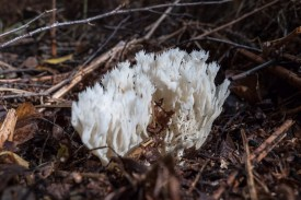 Upright Coral Fungus