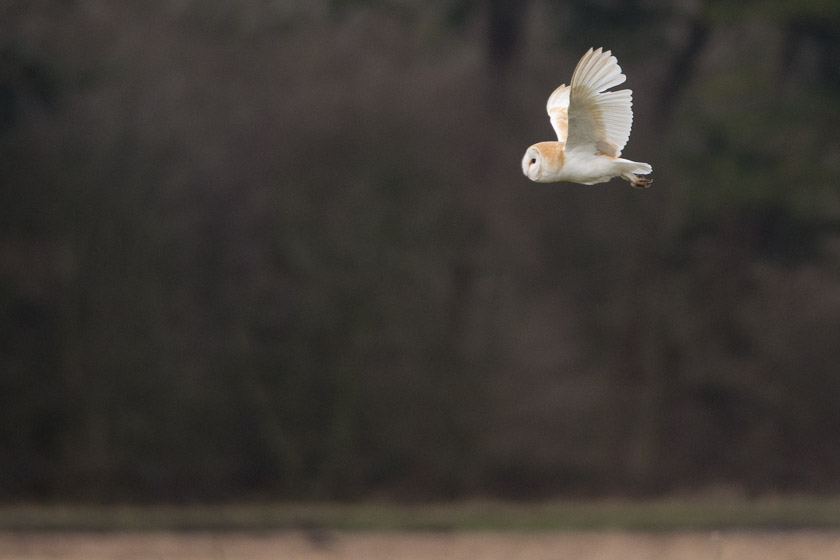 Barn Owl, quartering the moss close to Pilling, Lancs.
