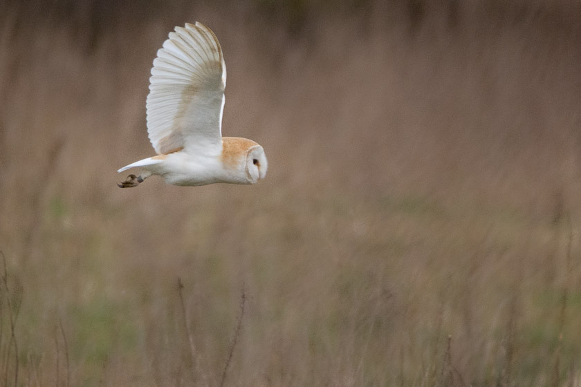 Barn owl flying back and forth looking and listening - a silent assassin.