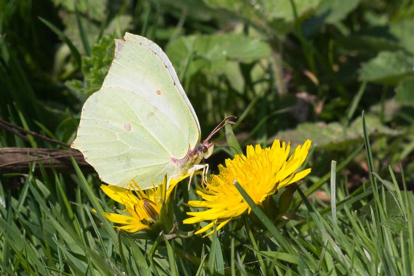 Brimstone nectaring on a Dandelion