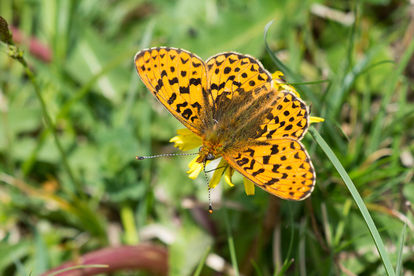 Pearl bordered Fritillary nectaring on a Dandelion