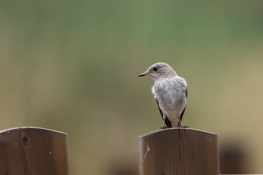 Spotted Flycatcher on fence