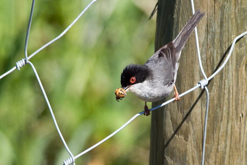 Male Sardinian Warbler