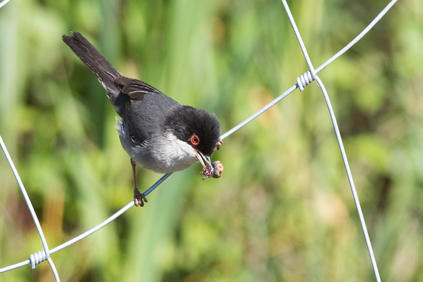 Male Sardinian Warbler carrying a spider back to the nest