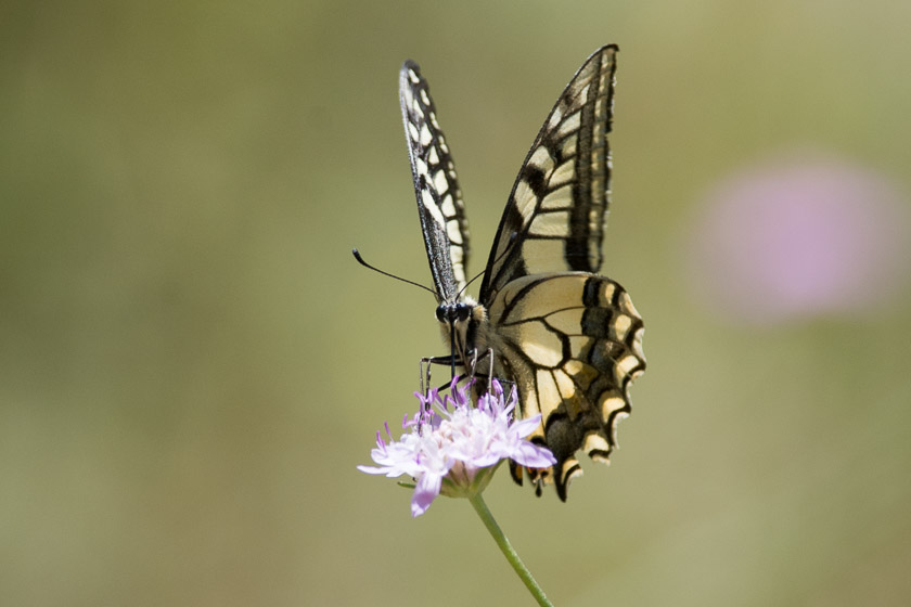 Continental form of the Swallowtail Butterfly nectaring on Scabious