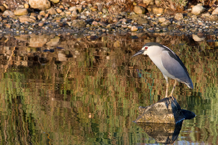 Black-crowned Night Heron at S'Albufereta de Pollensa