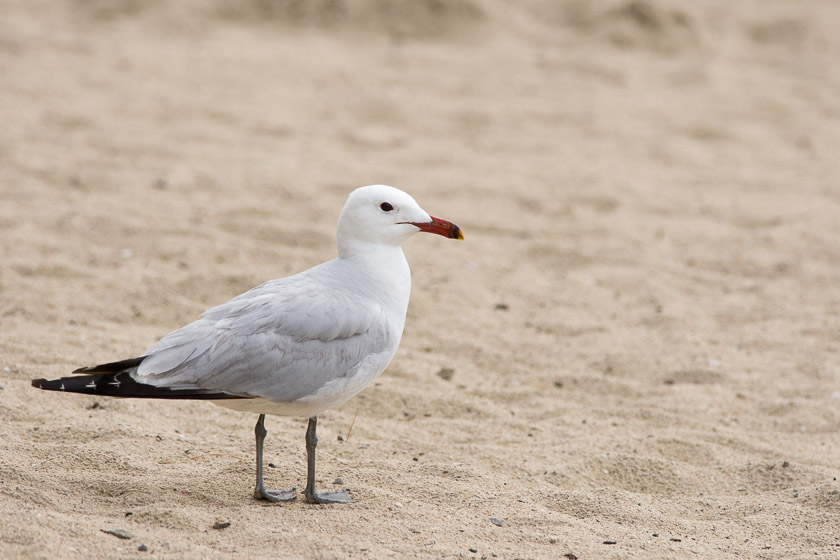 The rare Audouin's gull on the beach just outside the reserve's boundary