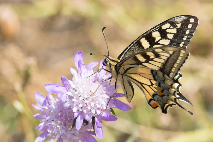 Swallowtail nectaring on Scabious.
