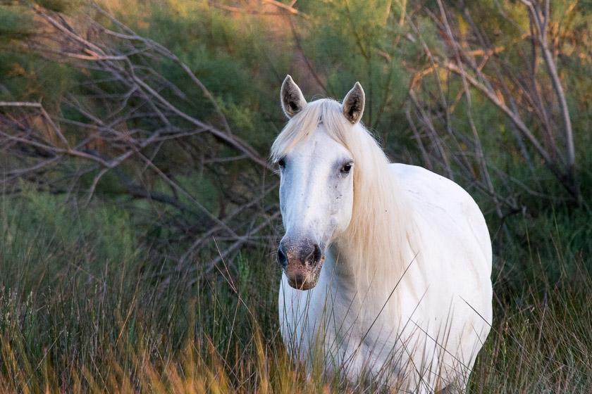 Camargue Horse at the S'Albuferata