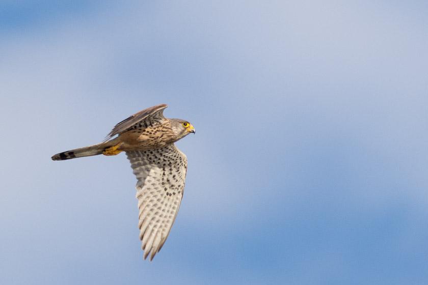 Male Kestrel in flight above the S'Albuferata