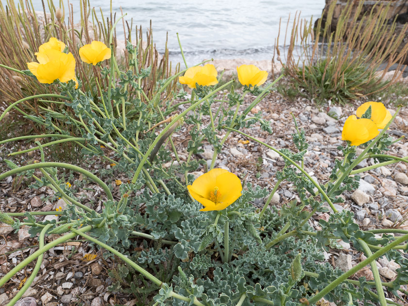 Yellow-horned Sea Poppy on the shore between Pollensa and Alcudia